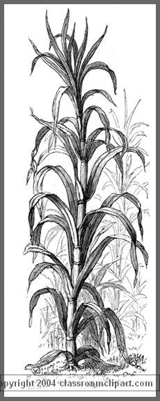sugar_plant_162w.jpg