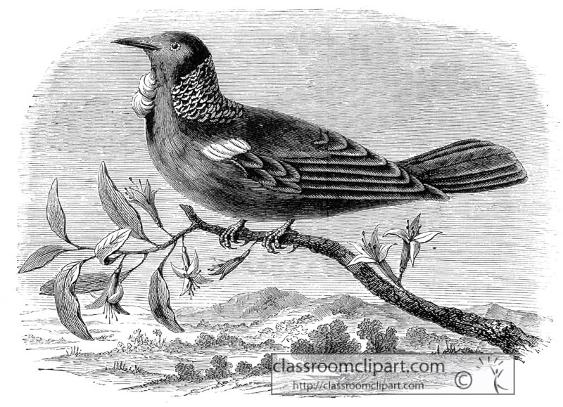 parson_bird_historical_illustration_W4_104A.jpg