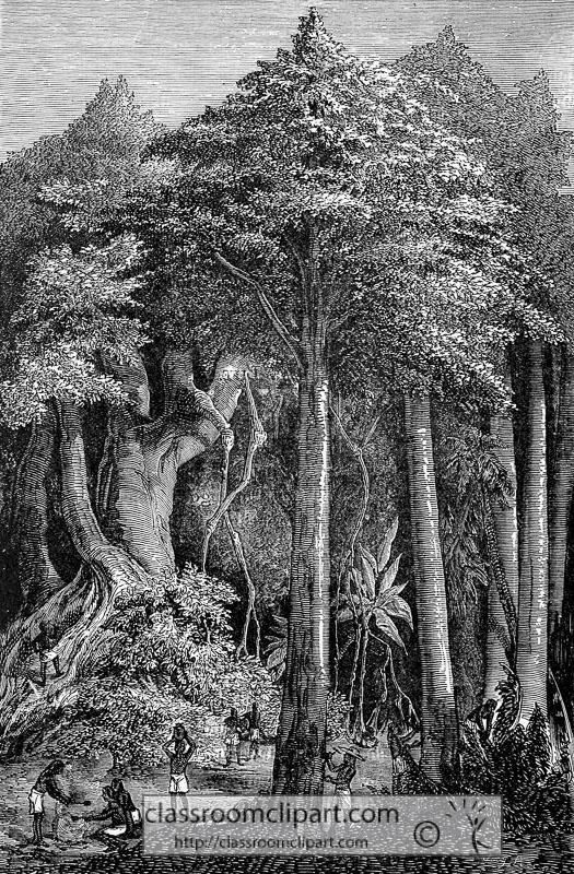 rubber-tree-historical-illustration-w3-069A.jpg