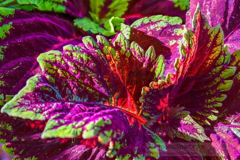 bright-colors-of-coleus-plant-closeup-of-leaves-photo-image-349.jpg
