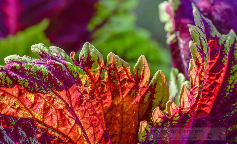 bright-colors-of-coleus-plant-closeup-of-leaves-photo-image-352.jpg