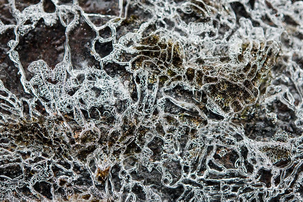 closeup-of-ice-spiders-on-rock-2.jpg