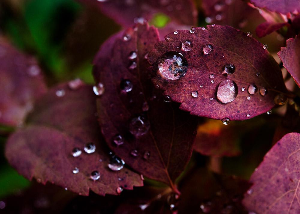 rain-drops-of-red-leaves.jpg