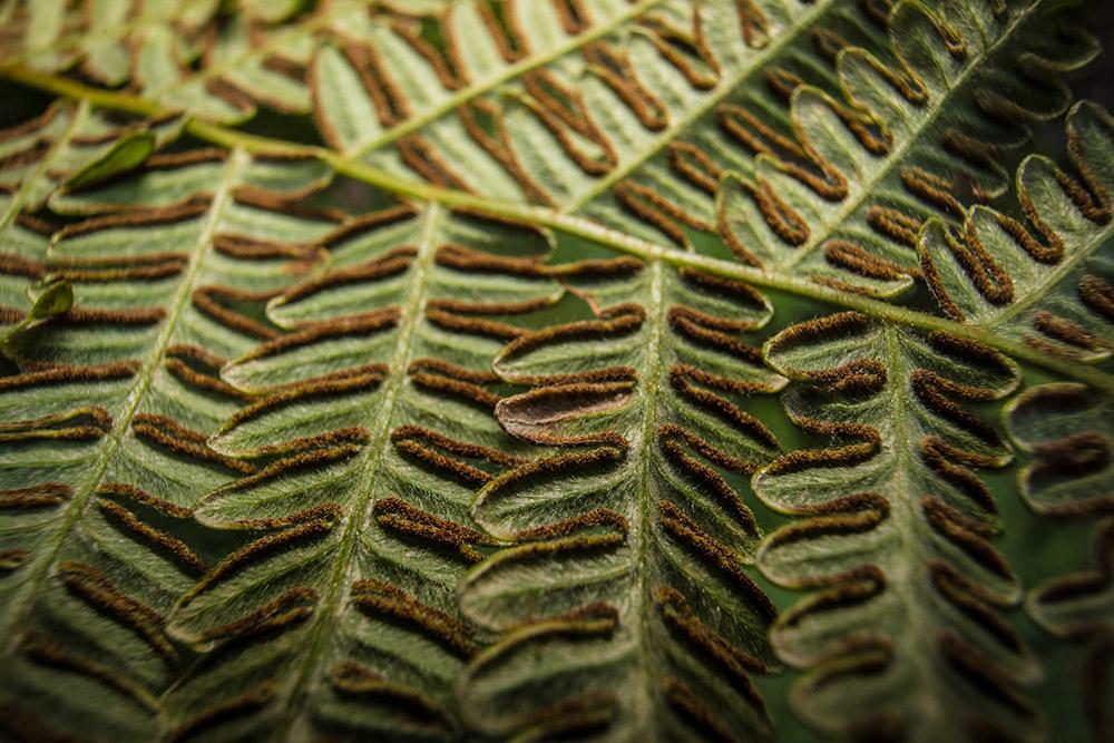 underside-of-a-bracken-fern.jpg