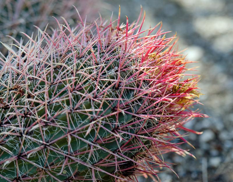 barrel-cactus-864.jpg
