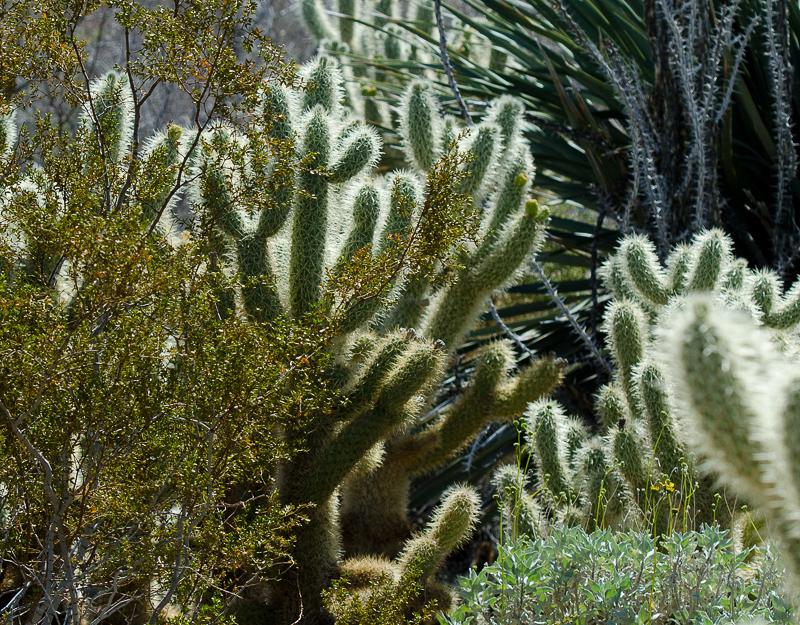 cholla-cacti-930A.jpg