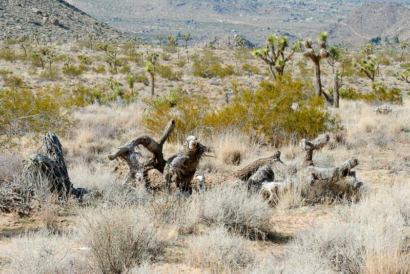 desert-joshua-tree-national-park-3122.jpg