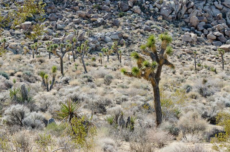 desert-joshua-tree-national-park-3131.jpg