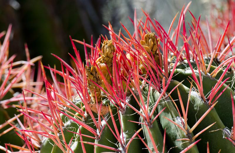 ferocactus-pringle-850A.jpg