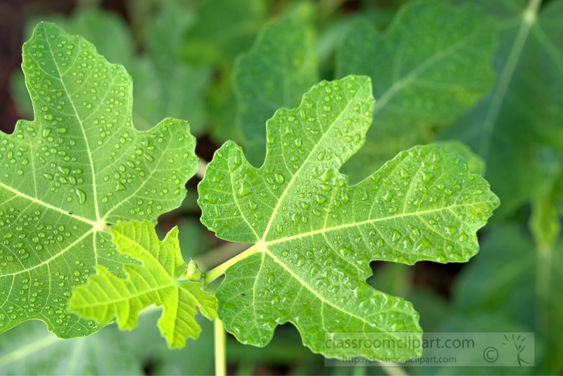 fig-tree-leaves-covered-with-morning-mist-image-4515.jpg