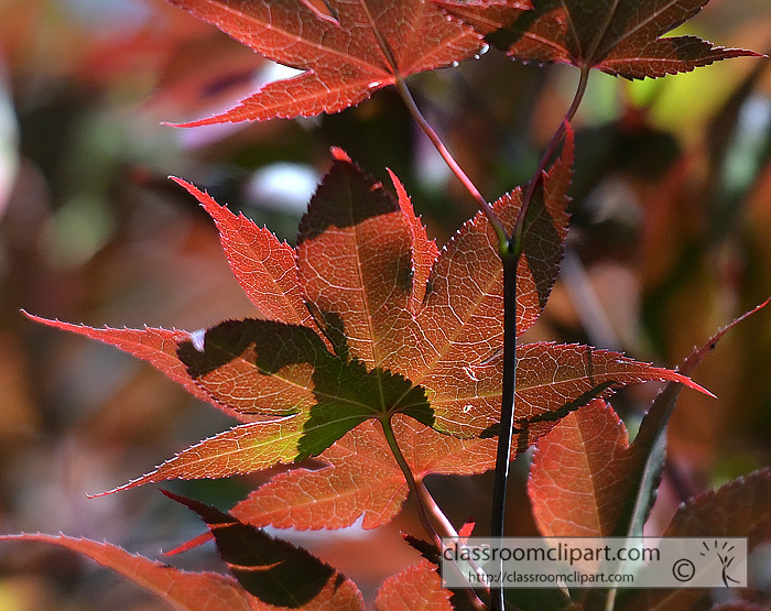 red_tree_leaves_closeup_087b.jpg