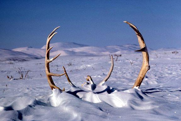 Caribou_Antlers.jpg