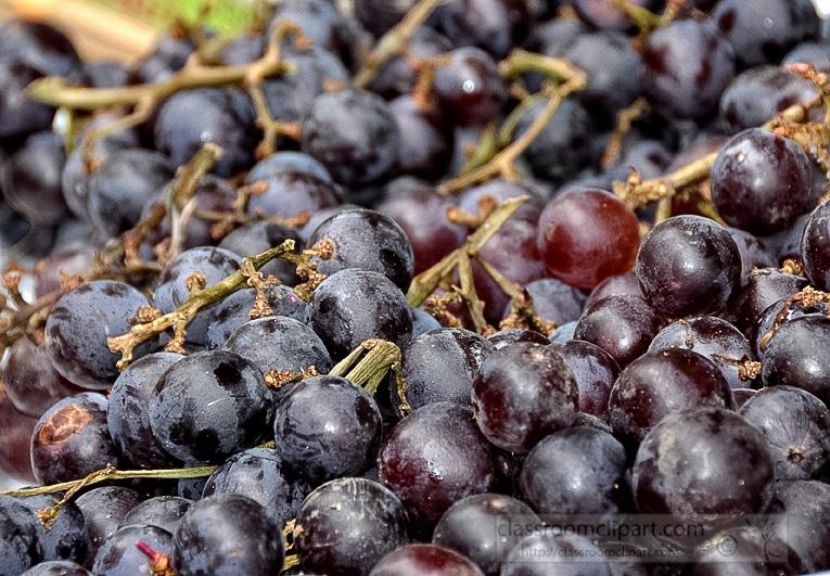 fresh-purpole-grapes-photo-image-62.jpg