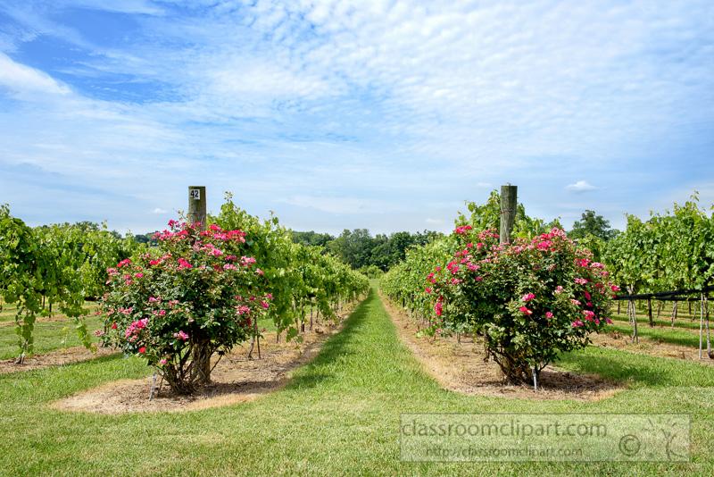 Rows-of-Grapes-Growing-in-Vineyard-Tennessee-photo-image-497-Edit-Edit.jpg