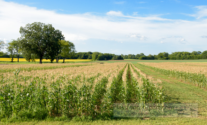 Rows-of-corn-growing-photo-image-9133.jpg