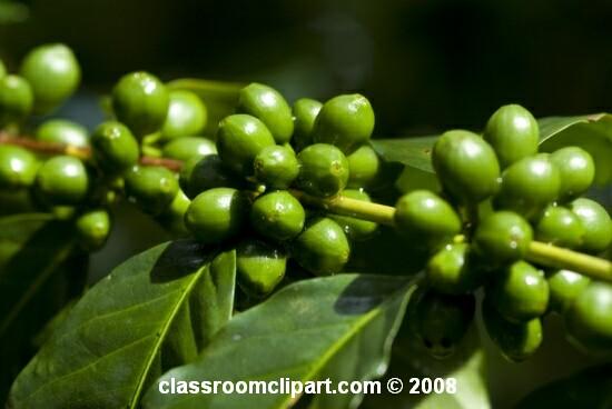 coffee_bean_plant.jpg