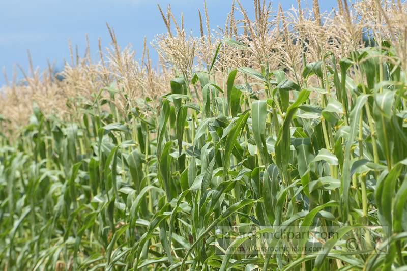 corn-fields-photo-8965.jpg