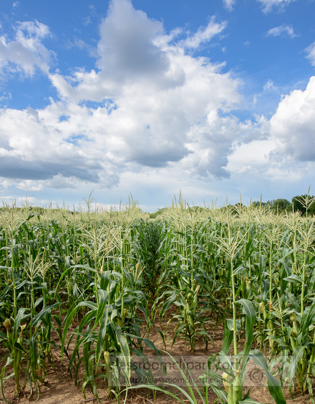 corn-plants-growing-in-field-photo-9042.jpg