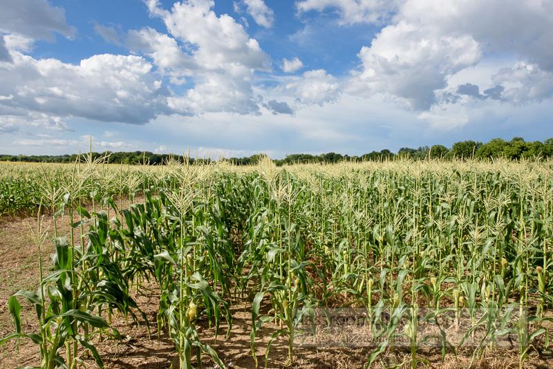 corn-plants-growing-in-field-photo-9052.jpg