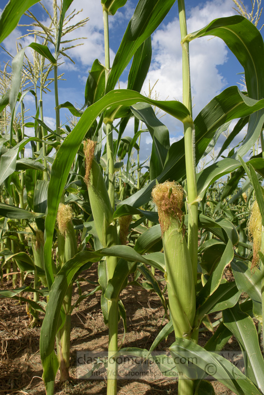 corn-plants-growing-in-field-shows-ears-corn-photo-9049.jpg