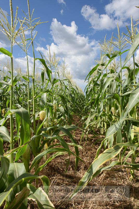 corn-plants-growing-in-field-shows-ears-corn-photo-9050.jpg