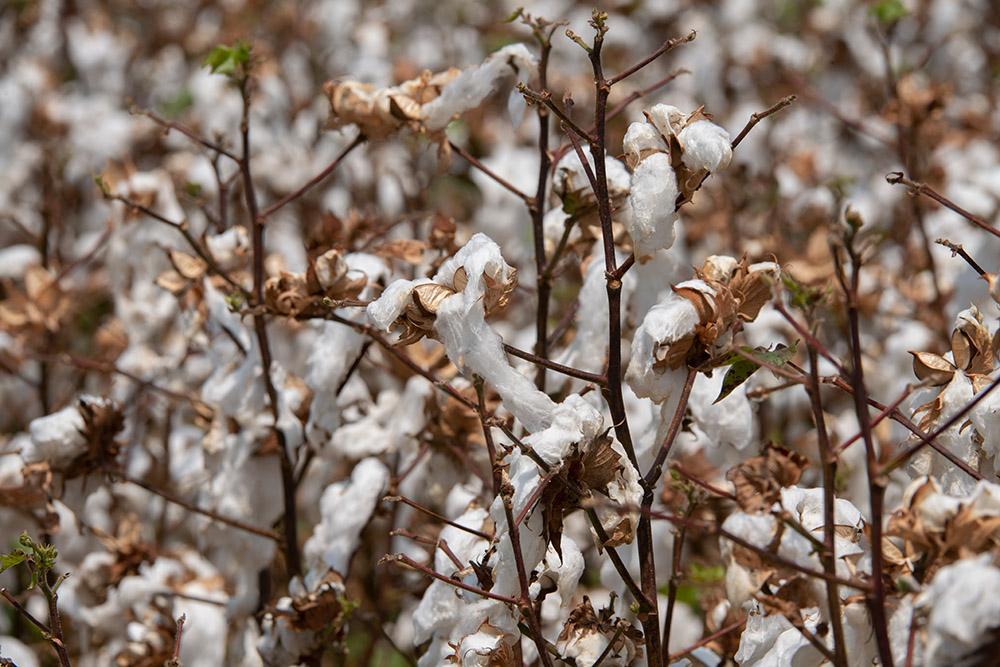 cotton-plants-prior-to-harvest.jpg