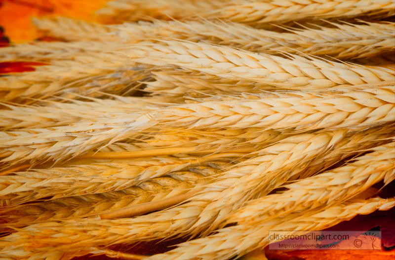 dry-ears-of-wheat-photo.jpg