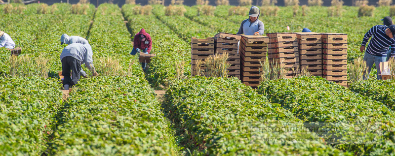 farm-workers-central-california-picking-strawberries-6803.jpg