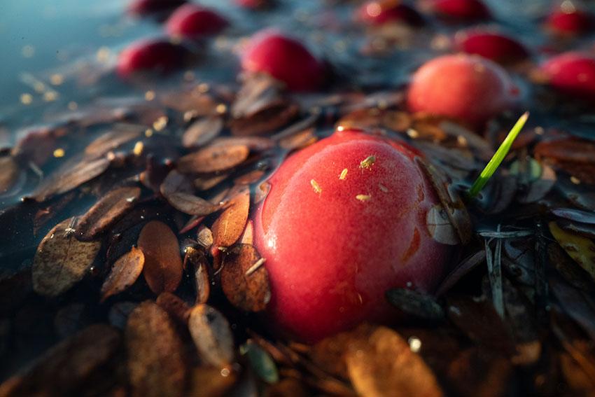 flooded-cranberry-bog-ready-for-wet-harvesting-in-massachusetts.jpg