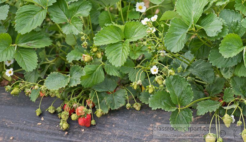 fresh-strawberries-growing-in-fields-1450s.jpg