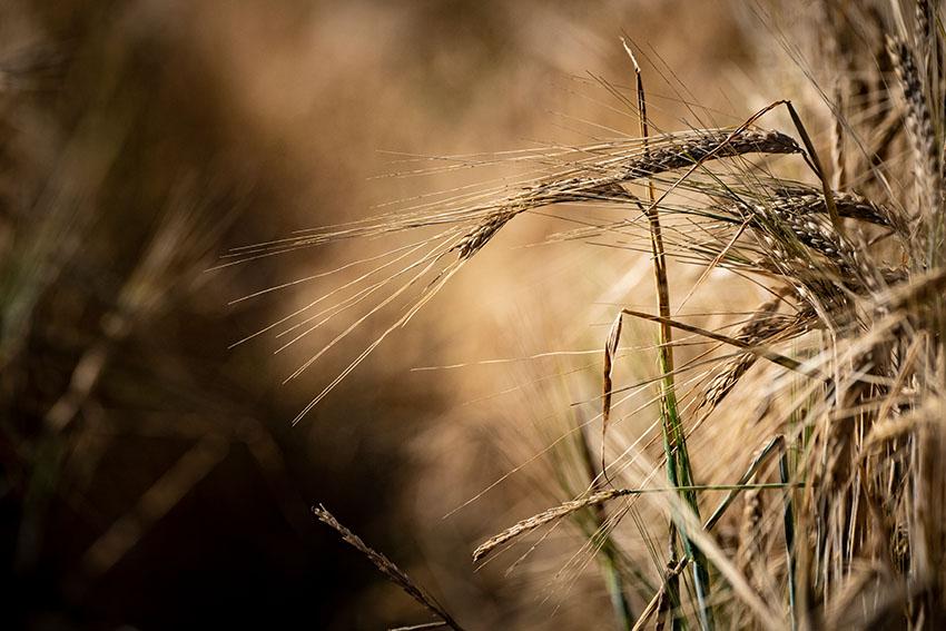 growing-wheat-crop-in-montana.jpg