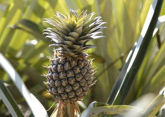 pineapple2_02.jpg