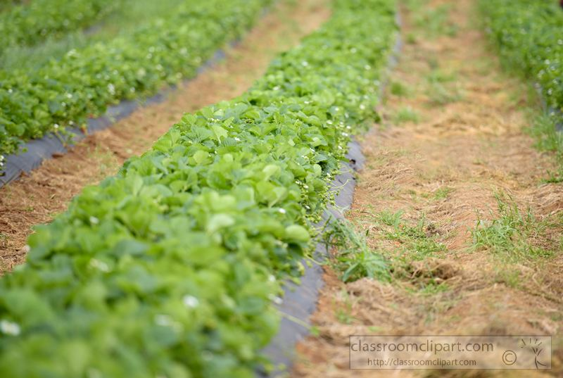 rows-of-strawberry-growing-plants-pic-1444.jpg