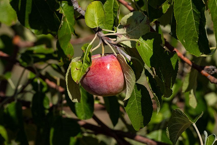 single-red-apple-growing-on-tree-in-orchard.jpg