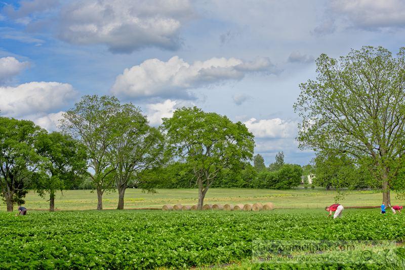 strawberry-plants-growing-photo-1444.jpg