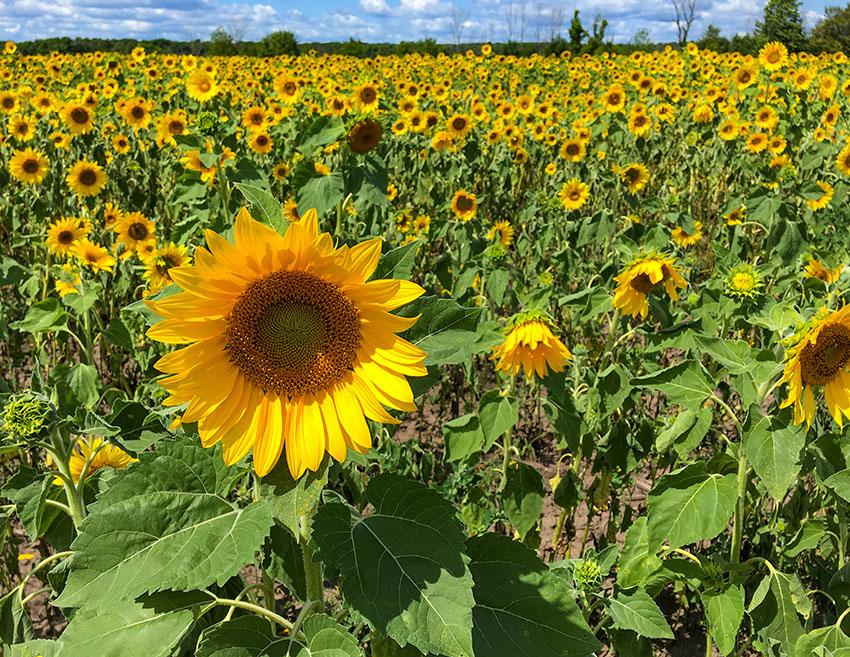 sunflower-field-in-west-virginia.jpg