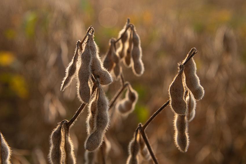 sunlight-hitting-the-sow-beans.jpg