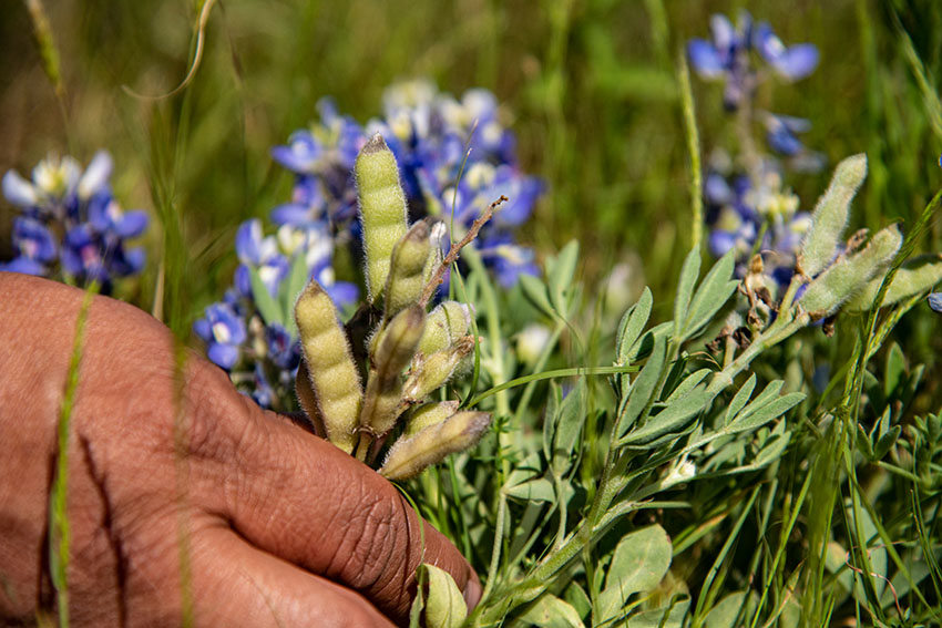 texas-bluebonnet-lupinus-texensis-flowers-and-seed-pods.jpg