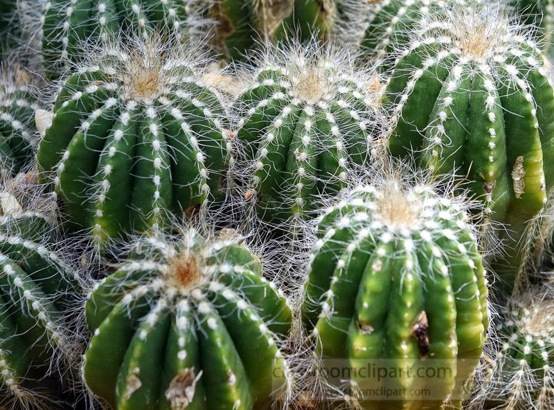 Ball-Cactus-Parodia-magnifica-photo-image-closeup-9120a.jpg