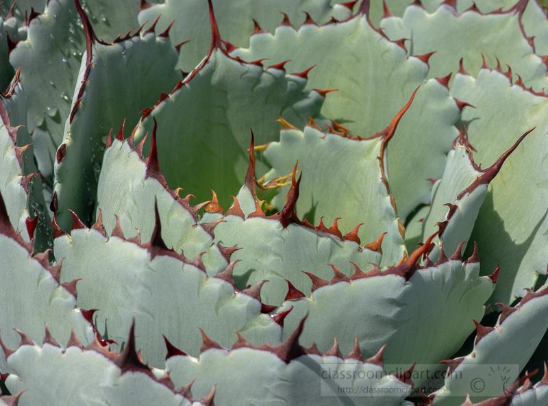 agave-lucky-crown-century-plant-02937.jpg