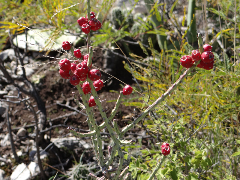 photo-red-berries-on-cactus-0881.jpg