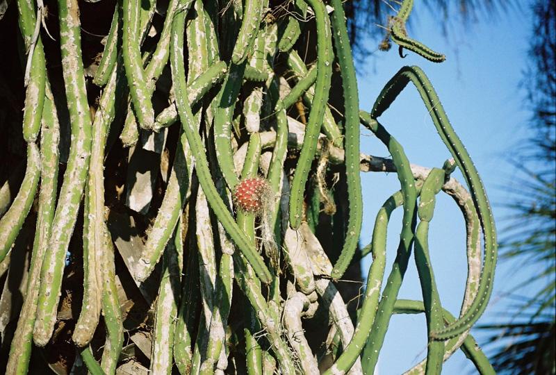 photo-snake-cactus-wrapped-around-trunk-of-tree.jpg