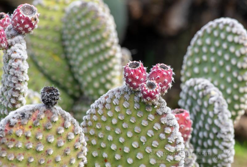 spiny-cacti-prickly-pear-plant-02928.jpg