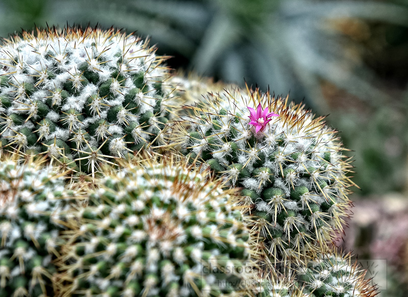 succulent-barrel-cactus-singapore-photo-image-9121bb-smart-copy.jpg