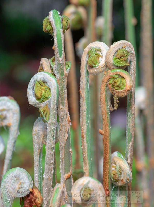 group-of-tightly-spirals-of-a-fern-fronds-or-crozier-3.jpg