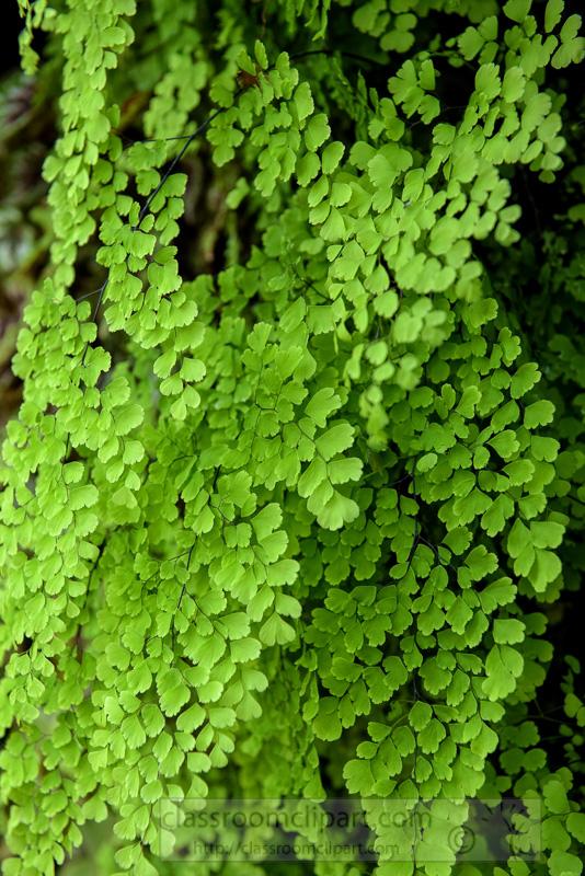 maiden-hair-fern-cloud-forest-photo-8969.jpg