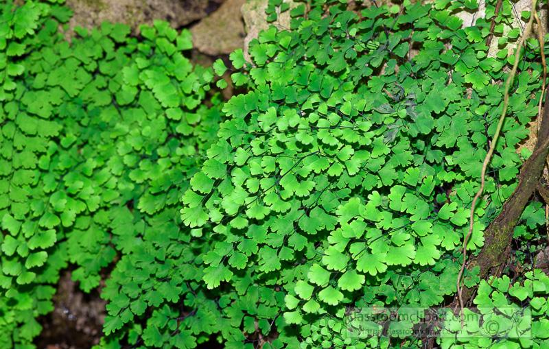maiden-hair-fern-photo-image-248.jpg