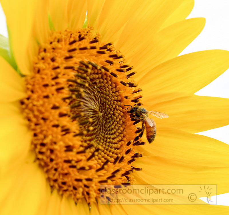 Closeup-of-a-Sunflower-with-Bee-on-Sunflower_white-background-photo-4493AE.jpg