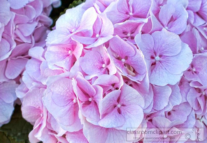 DSC02412b-closeup-picture-pink-hydrangea-flower-s.jpg