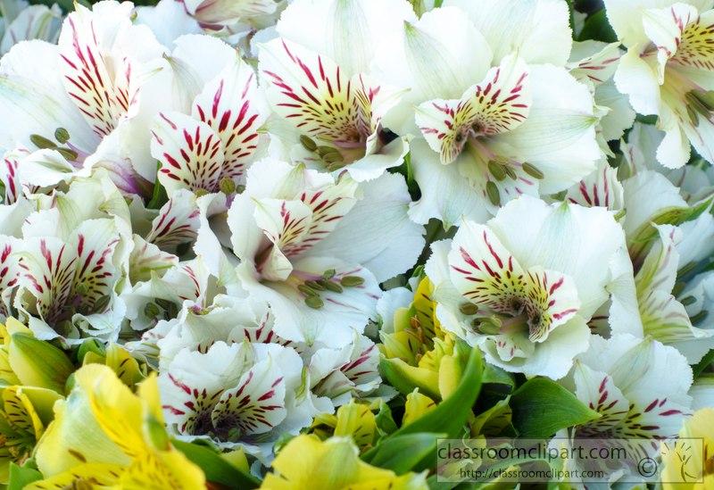 alstroemeria-flower-image-02438b.jpg